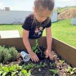 Gabika Stoklasová sadí rajčinu
